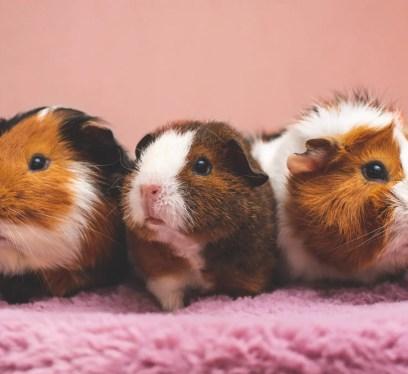 guinea pig adoption