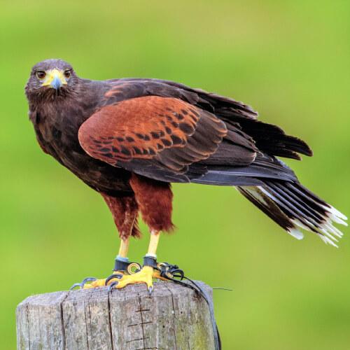 close up of harris hawk sitting on pole in field