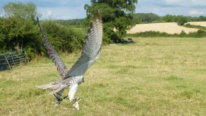 falcon flying close to ground at The Falconry School