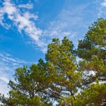 Georgia Pine Negotiation