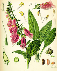 220px-Digitalis_purpurea_Koehler_drawing