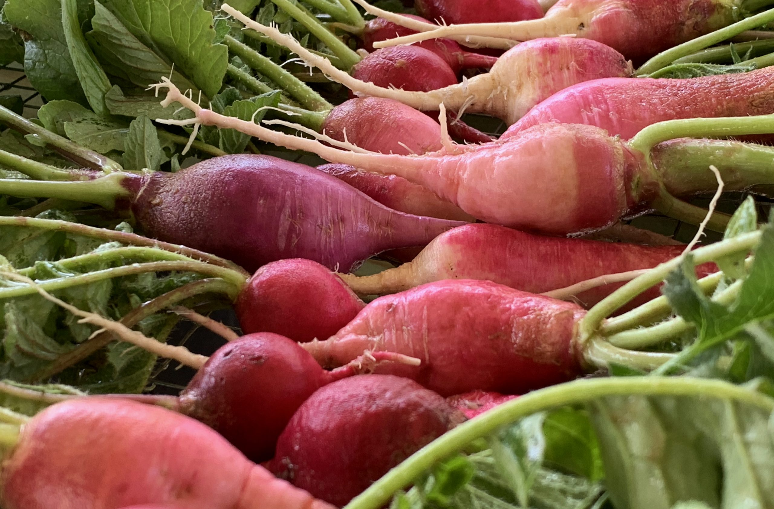 Radishes from The FARM