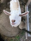 Visit our Goats
