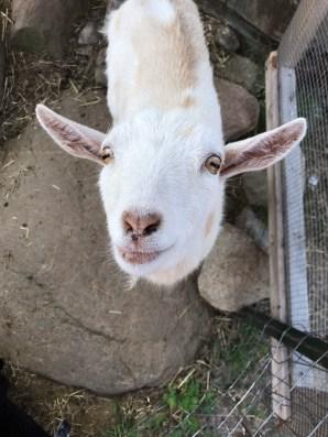 Visit our Goats