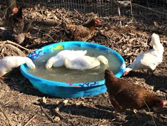 duck pool 5
