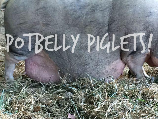 potbelly piglets 3