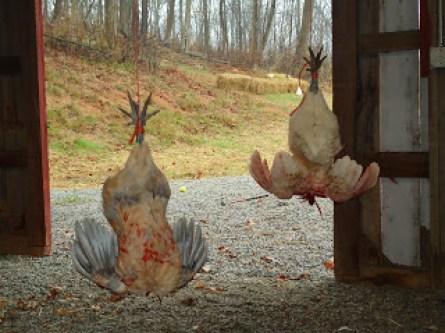 Chicken slaughter 008