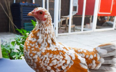 WHY CHICKENS IN THE GARDEN?