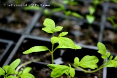 tomato seedlings - TheFarmersInTheDell.com