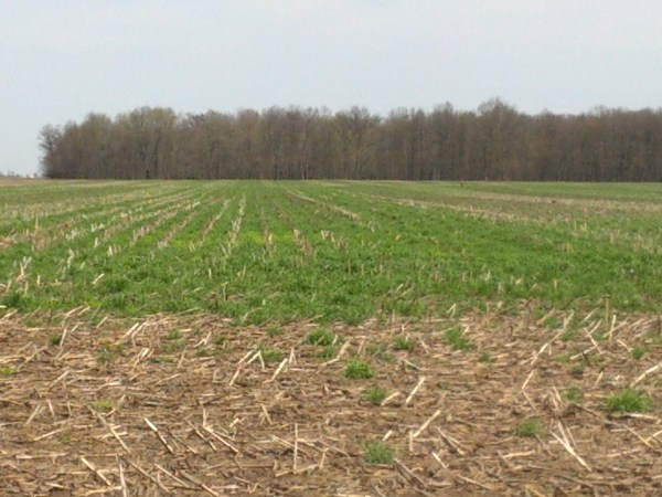 Winter Cereal Rye