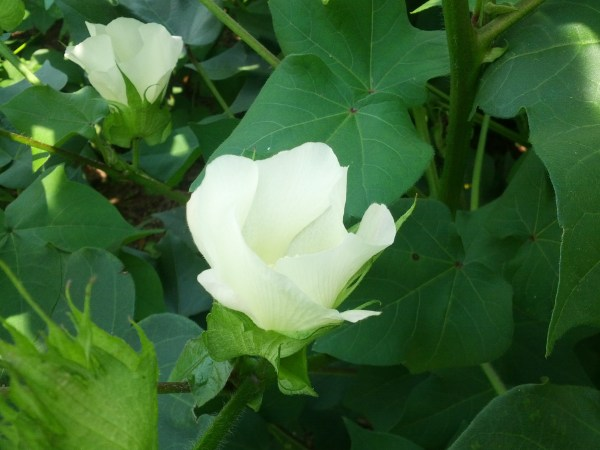 White Cotton Flower via thefarmerlsife.com
