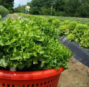 Lettuce fresh from the field!