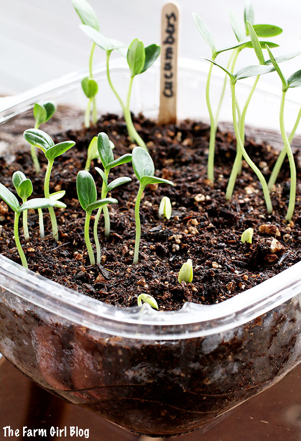 This post you will learn how to  Starting Cucumber Seeds Indoors. If growing seedling has been intimidating you and you were buying it at the store you're just wasting money. It's much easier than you can imagine.