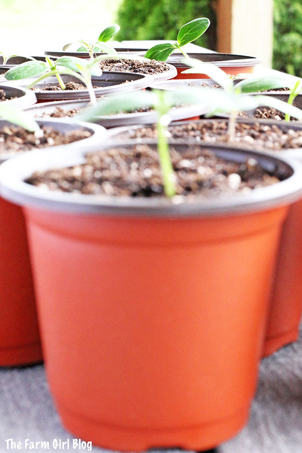 In this post, you will learn How to Repot CUCUMBER and TOMATO Seedlings. It is so easy, fun and rewarding. Nothing can beat homegrown produce, so this is why I love to grow my own backyard garden. Even though you can purchase fresh produce at the farmers market, but I can be sure no chemical will be used if I grow my own garden.