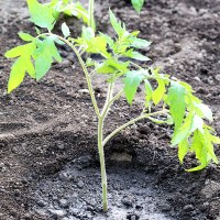 How and When to Transplant Tomato Plants Into the Garden (Video)