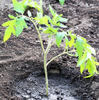 Transplanting tomato plants into the garden is a very easy process, but you must follow a few steps. In this post, you will learn How and When to Transplant Tomato Plants Into the Garden.