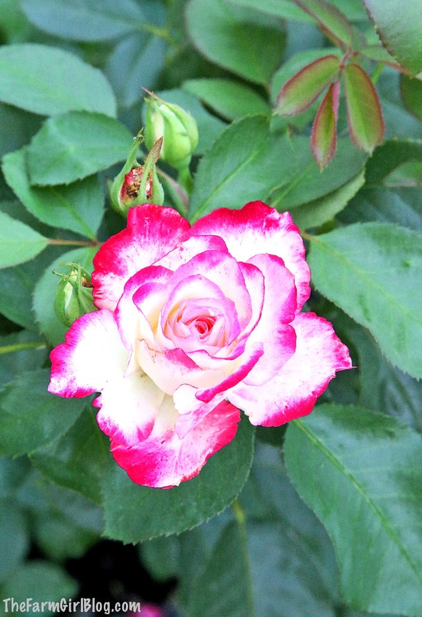 In this post, you will learn how and why Deadheading a Rose Bush for More Blooms is very important to do. It is much easier than Pruning a Rose Bush in the Springtime. I prefer to do this process on a weekly basis to ensure my rose bushes continue to delight us with beautiful blooms throughout the summer. #deadheading #summerpruning #rosebloomspruning #thefarmgirlblog