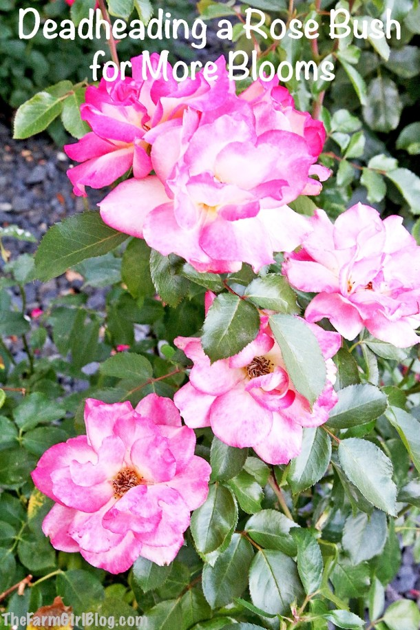 Do you know how and why Deadheading a Rose Bush for More Blooms is very important to do. I prefer to prune dead blooms process on a weekly basis to ensure my rose bushes continue to delight us with beautiful blooms throughout the summer. #deadheading #summerpruning #rosebloomspruning #thefarmgirlblog
