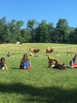The dairy herd watches morning yoga.