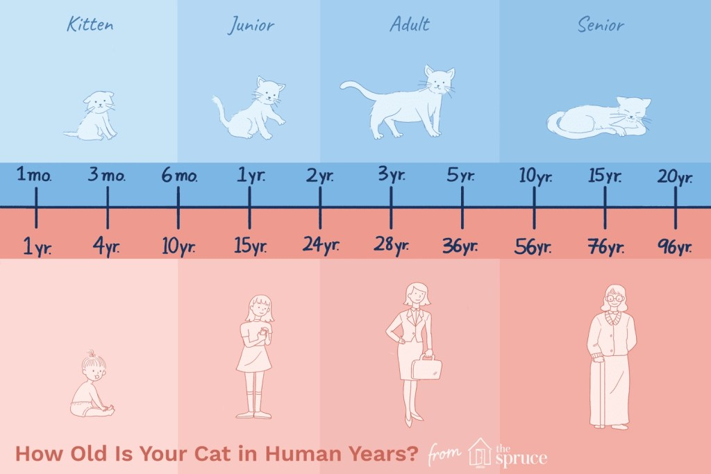 Cat age in human years