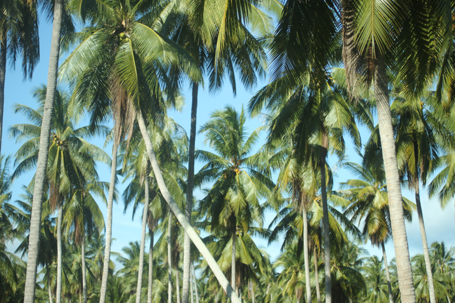 Thailand coconut palms near the beach.