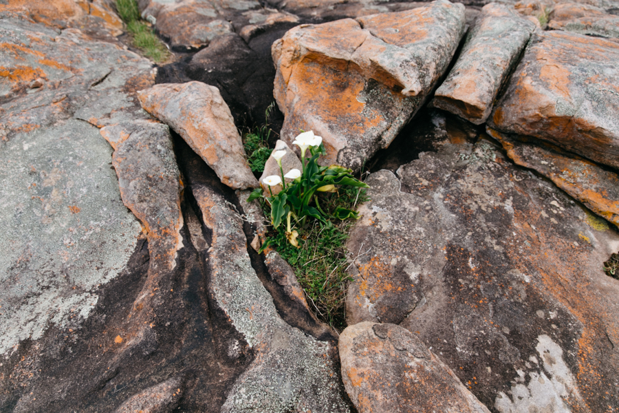 Lilies growing on the cliffs at Cosy Corner, Western Australia.