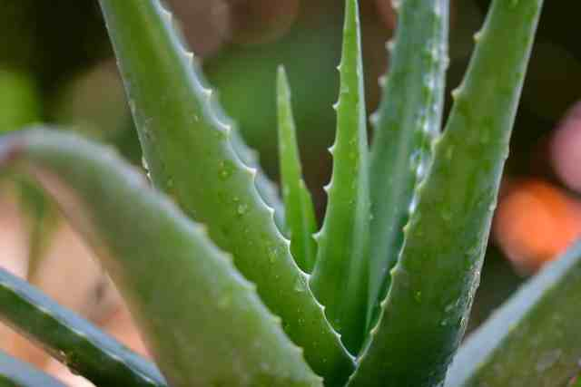 aloe vera gel preparation