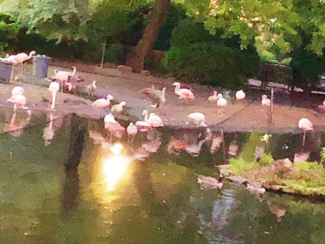 #nightatthezoo, Lincoln park zoo, Chicago zoo, zoo animal, #adultnightatthezoo, chicago blogger, flamingo