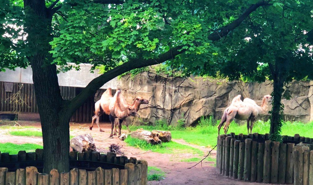 #nightatthezoo, Lincoln park zoo, Chicago zoo, zoo animal, #adultnightatthezoo, camels, camel