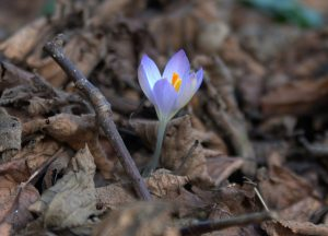 crocus breakthrough