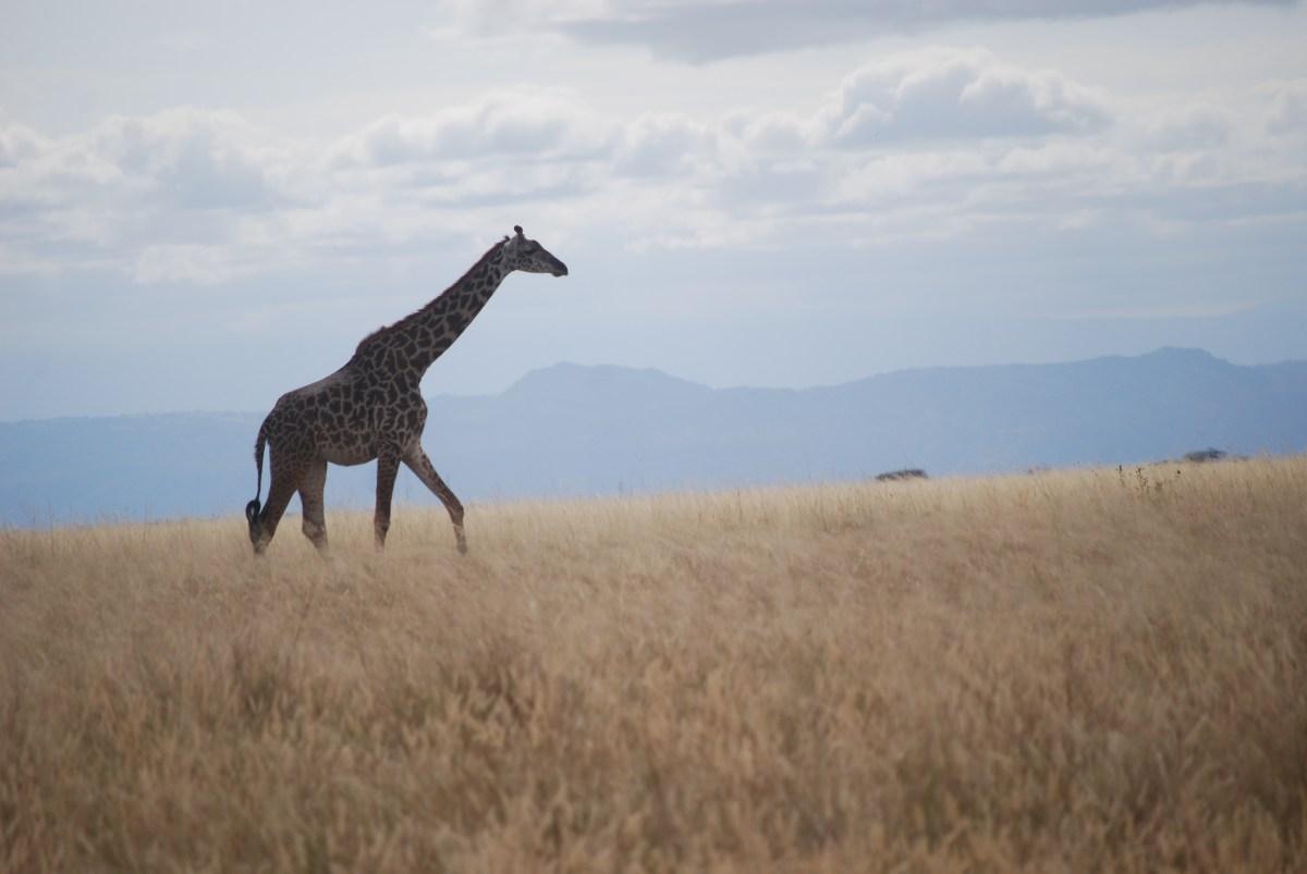 It's a giraffe.