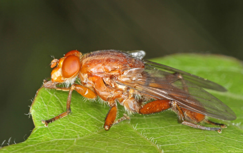 Aspen hoverfly