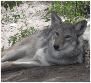 A coywolf Image source: L. David Mech, Bruce W. Christensen, Cheryl S. Asa , Margaret Callahan, Julie K. Young
