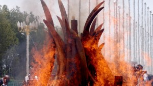Image Source: International Fund for Animal Welfare Animal Rescue Blog, Flickr, Creative Commons slide_8 Ivory burn in Brazzaville, Republic of Congo on April 29, 2015 where President Nguesso set fire to their entire stockpile of nearly five tonnes of illegal ivory.