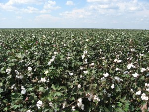 Cotton Field Image Source: Ken Lund, Flickr, Creative Commons