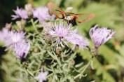 My very obliging hummingbird hawk-moth
