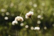 Even more cotton grass