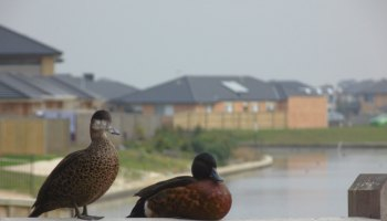 housing development with ducks