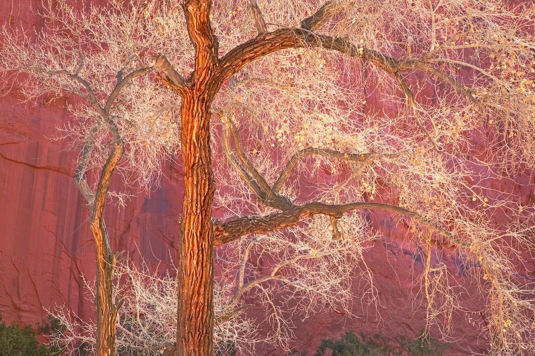 Luminous Cottonwood Tree