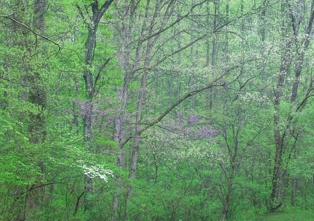 Tennessee Spring Forest #2