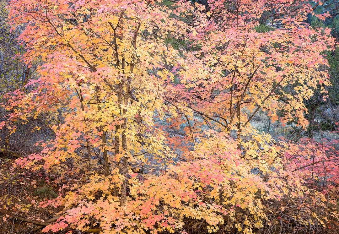 Zion Autumn Maples