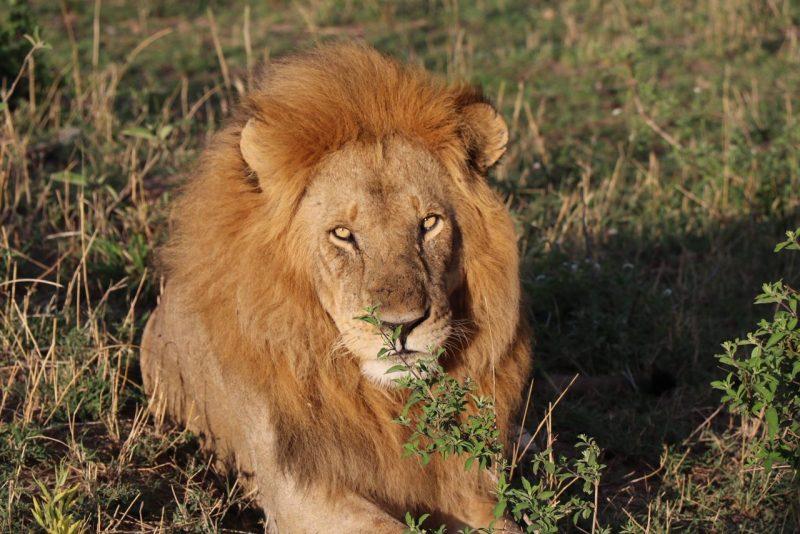 Lion, safari, Serengeti, Tanzania, Classic Safari Company, Nasikia camps, Kaskaz Mara Camp, Great migration