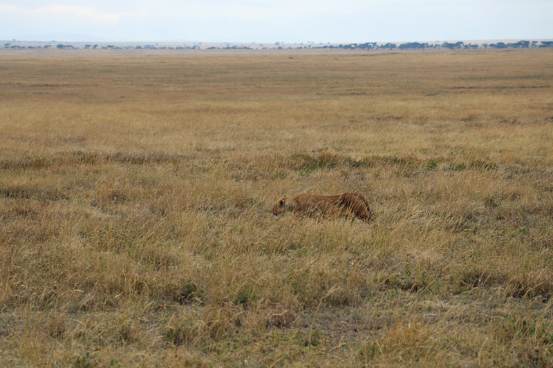 lions, serengeti, serengeti national park, africa, tanzania, nasikia camps, maasai wanderings, on safari