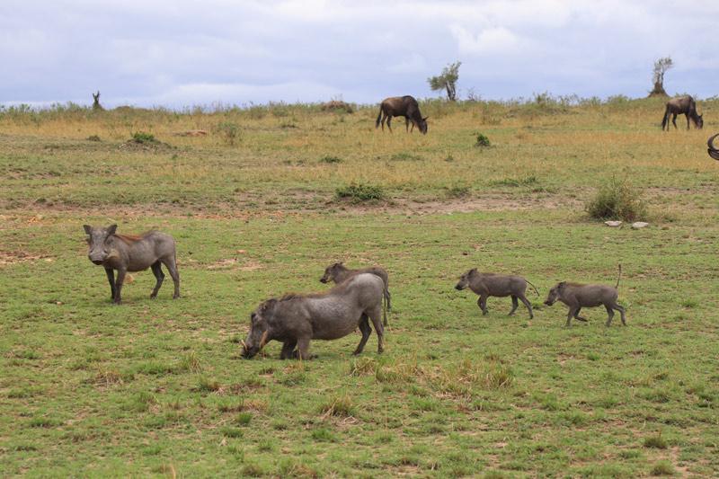 warthogs, Serengeti National Park, Tanzania, Nasikia Camps, Maasai Wanderings, Classic Safari Company, on safari, African safari