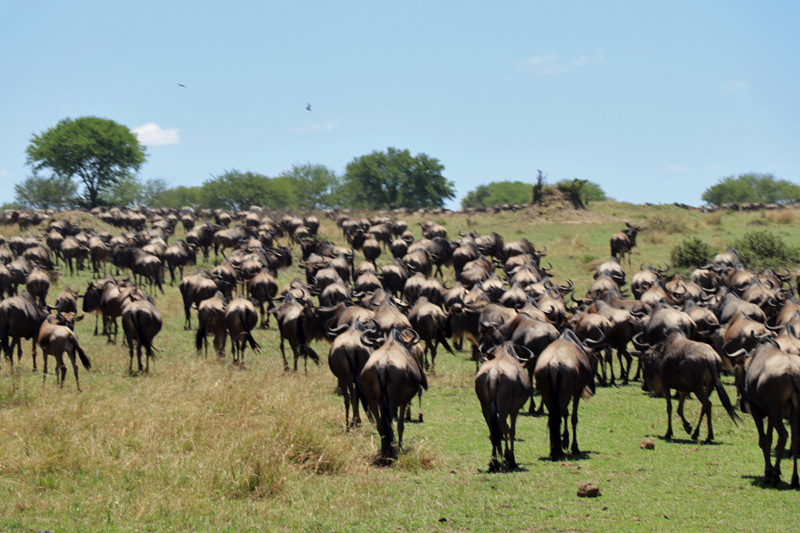 great migration, Tanzania, Serengeti, wildebeest