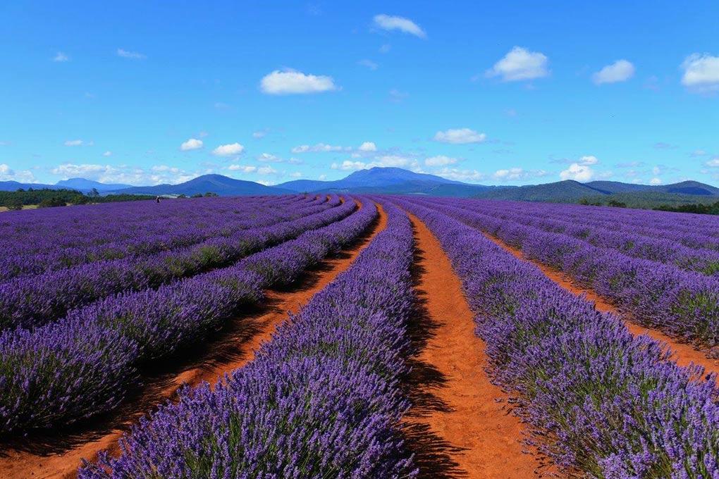 Bridestowe Lavender Estate, Tasmania, Renaissance Tours, Tourism Tasmania