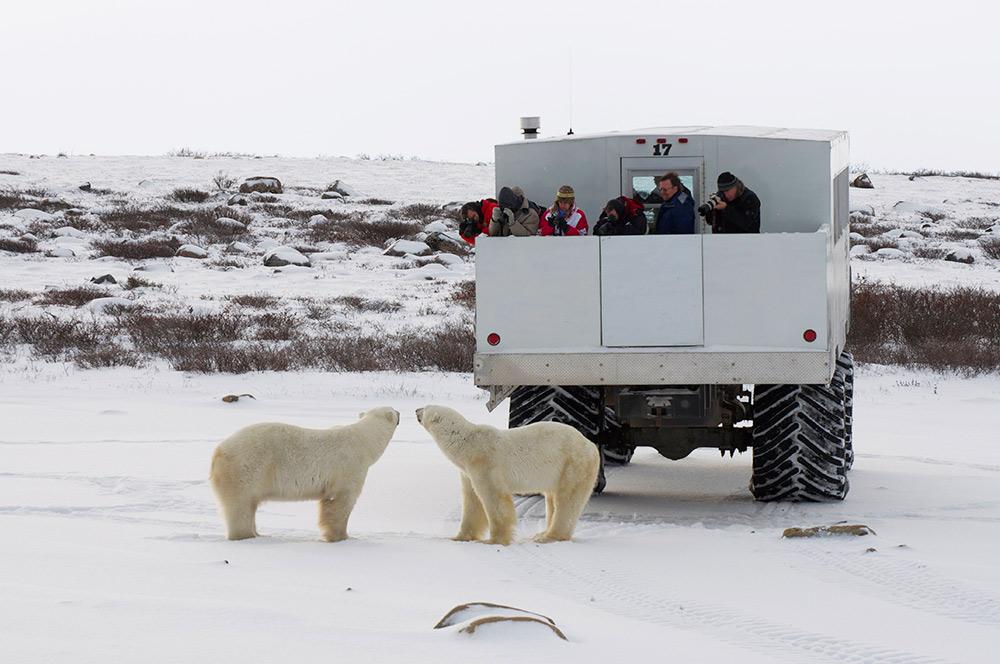polar bears, Canada, tundra buggy