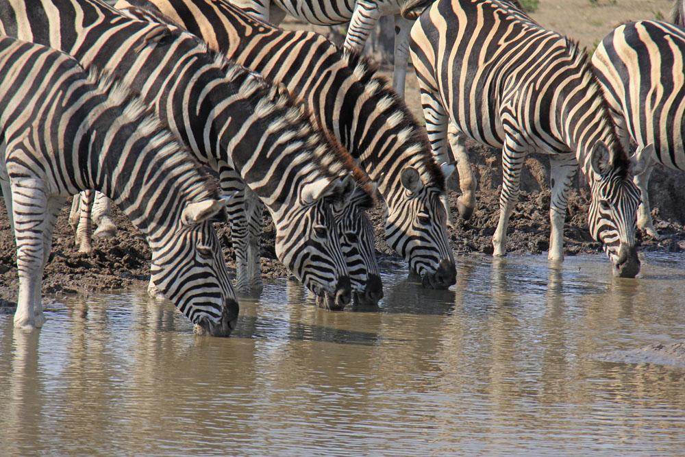 Helen Hayes, South Africa, Sabi Sabi, zebra