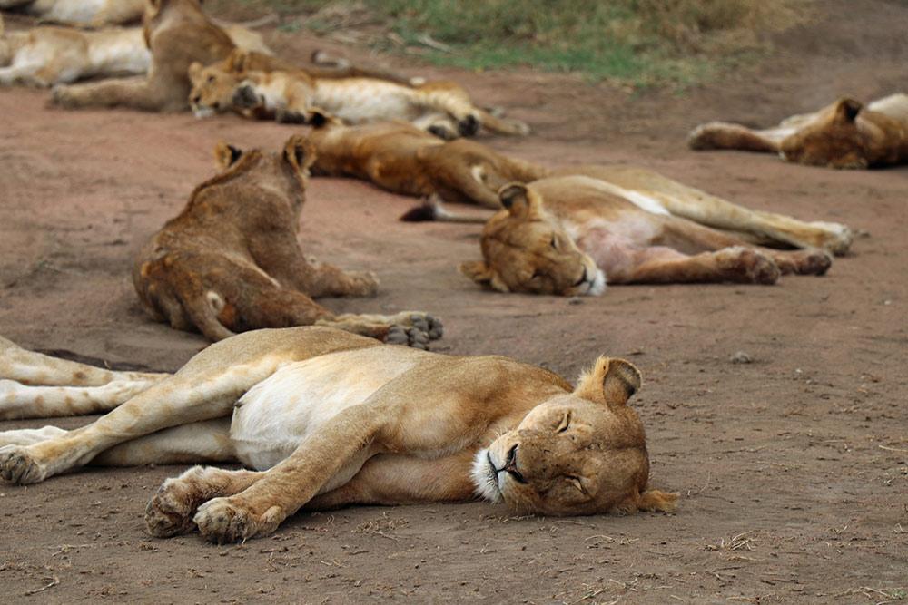 lions, wildlife, Africa, Tanzania, pride, Nasikia Camps