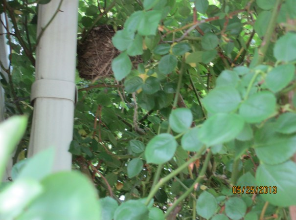 Cardinal Nest Rose Bush